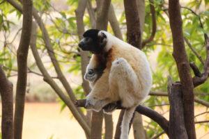 lemurpark 08 lem3