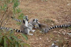 lemurpark 12 lem